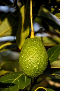 hass-avocado-882634_640